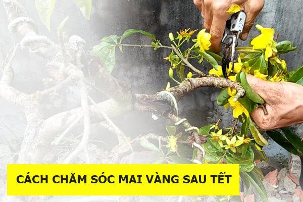 huong-dan-cach-cham-soc-mai-vang-sau-tet-don-gian-de-lam